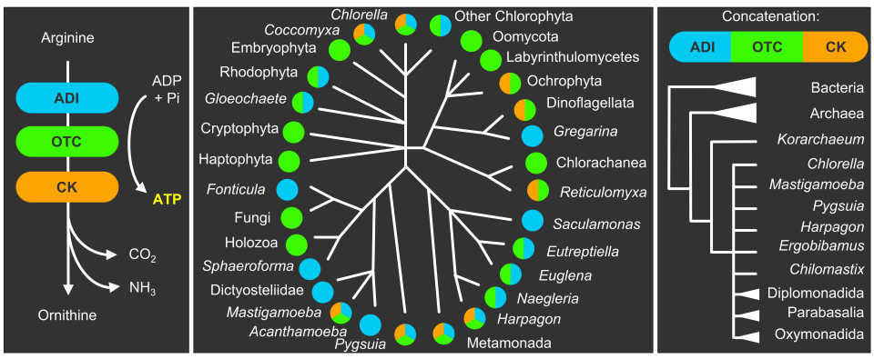Arginine deiminase pathway enzymes: evolutionary history in metamonads and other eukaryotes