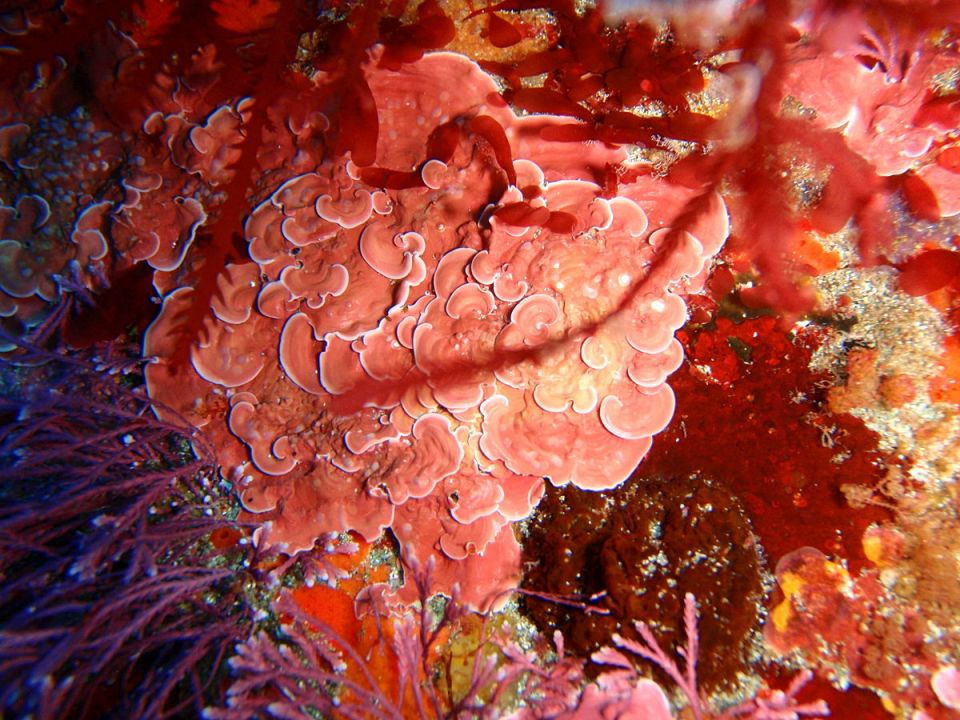 Crustose coralline algae, Peter Southwood