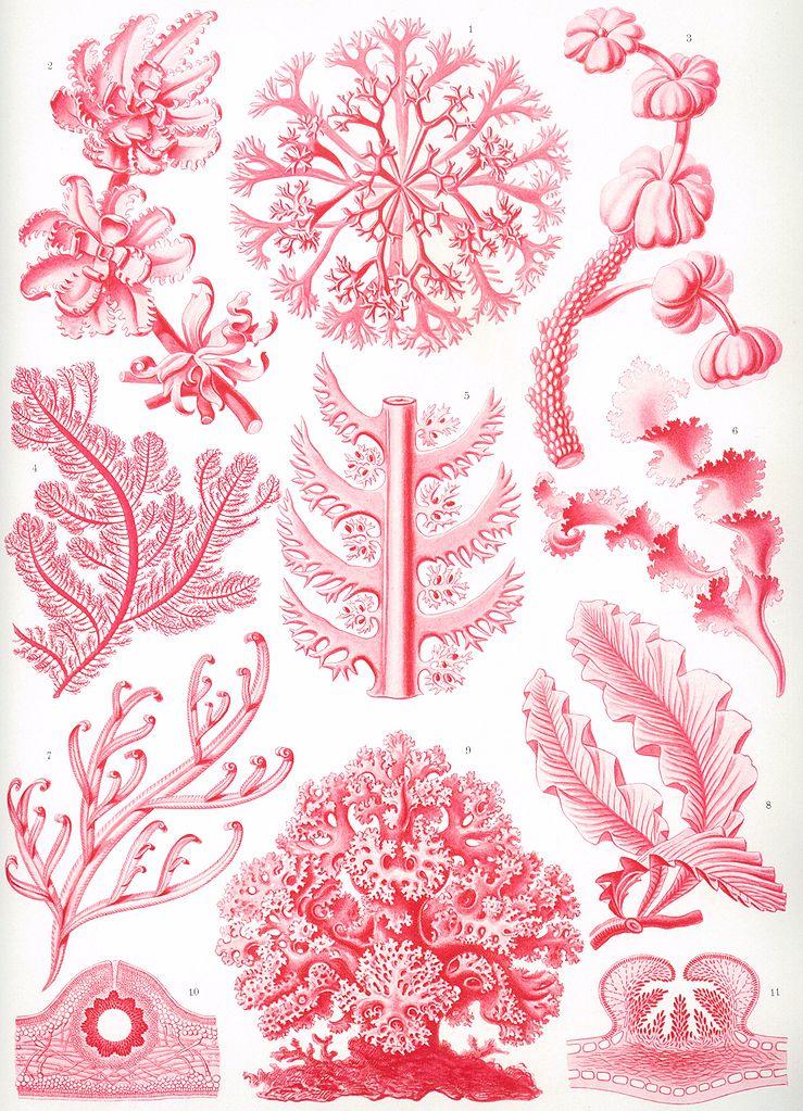 Ernst Haeckel, Kunstformen der Natur: Florideae